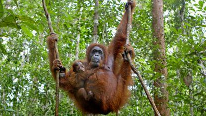 """Wetenschappers trekken aan alarmbel: """"Aantal orang-oetans stijgt helemaal niet in Indonesië"""""""
