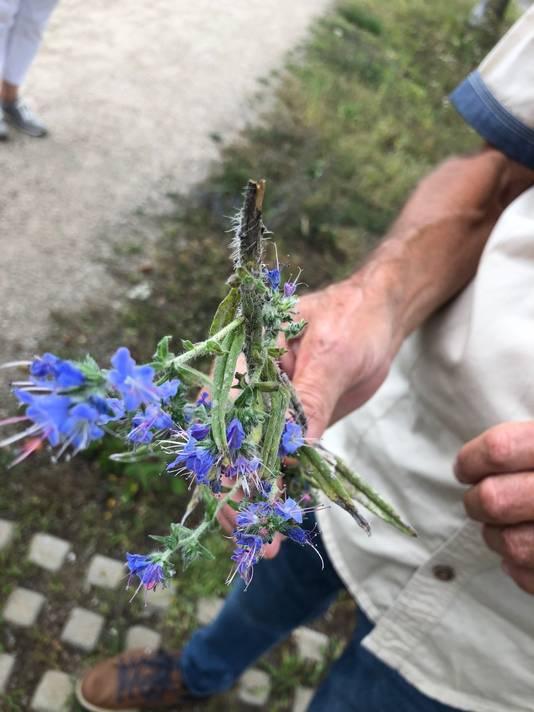 De wortel van slangenkruid, met blauwe bloempjes waar de meeldraden als een slangentong uitsteken, zou tegen slangengif werken. Het groeit gewoon langs de kant van de weg.