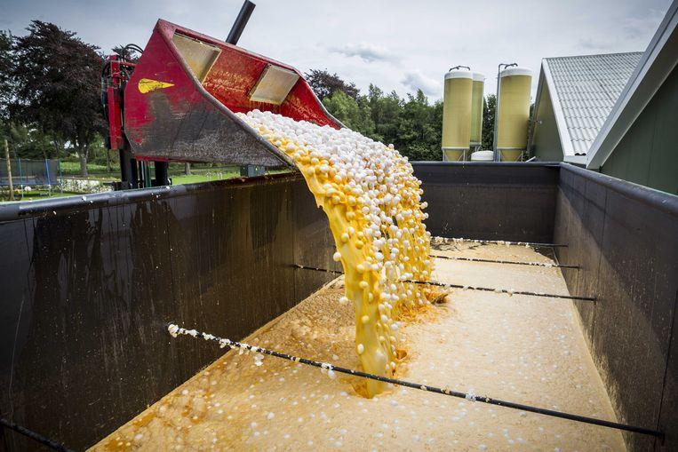 Eieren worden op last van de Nederlandse Voedsel- en Warenautoriteit vernietigd bij een pluimveehouder. Beeld ANP