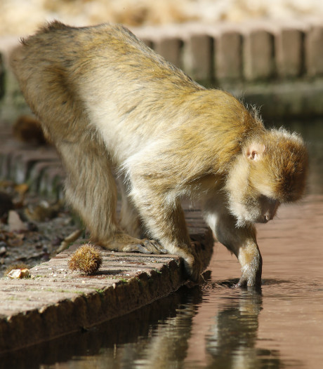 Noten maken berberaapjes dorstig in Ouwehands