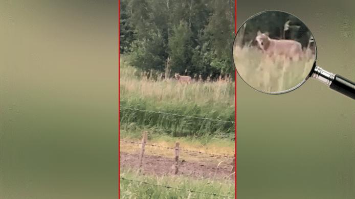 De wolf werd afgelopen week op camera vastgelegd in Vlijmen.
