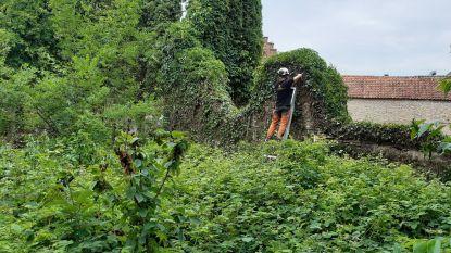 """Snoeiwerken Sint-Michielskerk kondigen start restauratie aan: """"Pas wanneer de planten verwijderd zijn kunnen we de toestand van de muren beoordelen"""""""