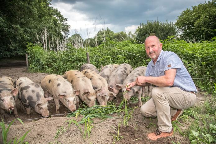 Boer Bert Waterval met zijn varkens aan de Mataramweg in Hoonhorst.