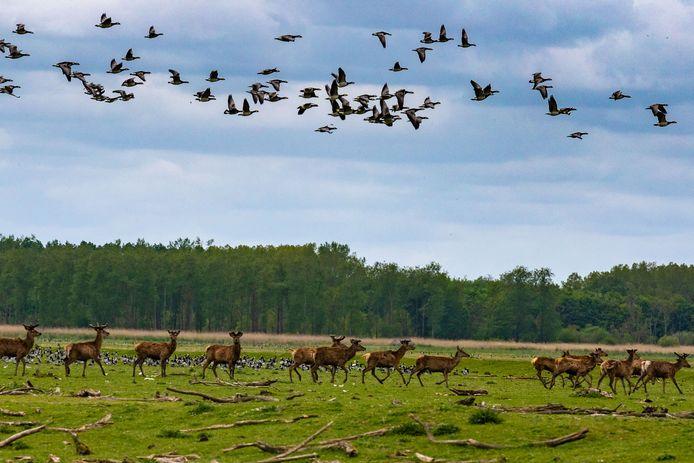 Damherten en ganzen in de Oostvaardersplassen.