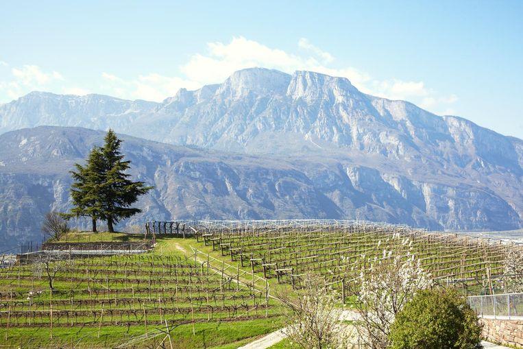 De wijngaard van Francesco Moser in Trentino Beeld Daniel Cohen