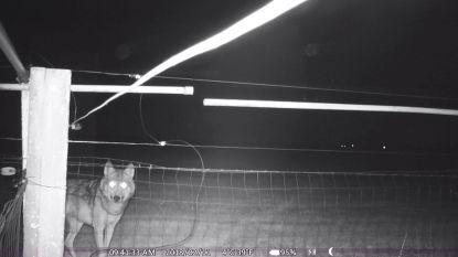 Wolf August krijgt gezelschap, pootafdruk van tweede wolf ontdekt in Limburg