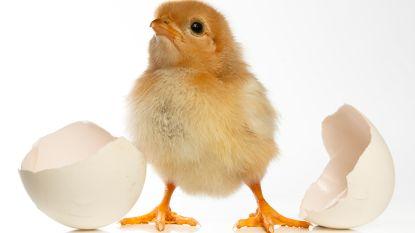 Het kuiken en zijn ei: wetenschappers ontdekken nu pas hoe diertje zo makkelijk door schaal kan breken
