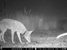 Dieren leven steeds vaker 's nachts om mensen te ontwijken