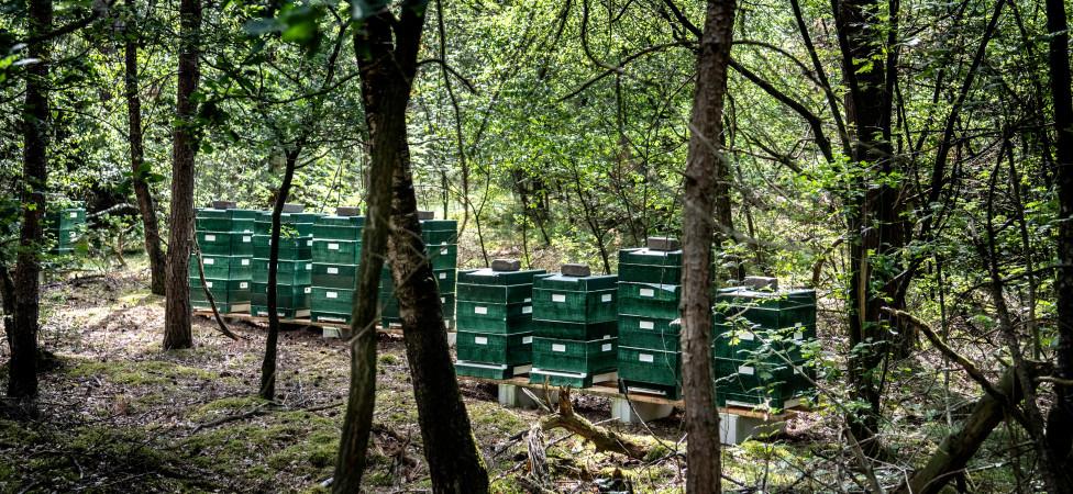 Hongerige honingbijen bedreigen de wilde bij én de natuur
