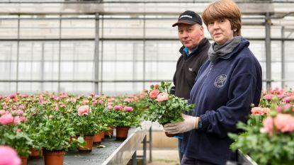 20.000 kleurrijke ranonkels voor Frankrijk en ze geraken niet over de grens: Rita zet aanhangwagen op oprit met plantjes aan 1 euro