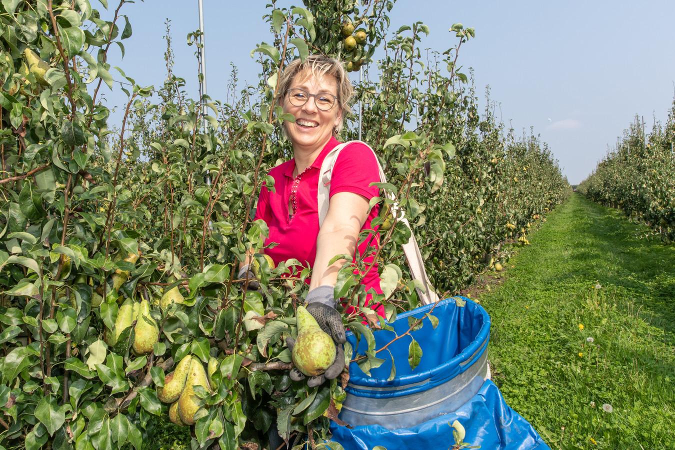 Carola Rehorst plukt peren.