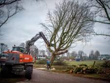 Het Everardusplein in Wijchen is nu echt al zijn kastanjebomen kwijt