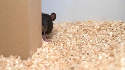 Ratten spelen graag verstoppertje en giechelen als mens hen vindt