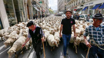 Ondanks protest van veehouders wil Frankrijk meer wolven