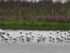 Grote groep zeldzame lepelaars verblijven in Everdinger Waarden