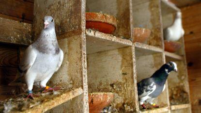 Dieven stelen vijf duiven uit hok