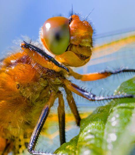 Waarom iedereen in Overijssel eens op libellen moet letten tijdens het wandelen (+ 3 tips voor een goede foto)