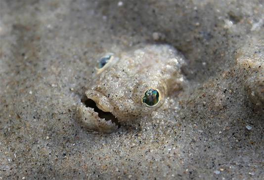 De pieterman verstopt zich graag onder het natte zand.