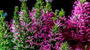 4 mooie najaarsbloeiers die je nu kan planten