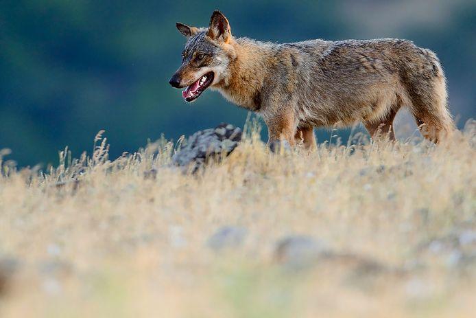 Boeren zouden wolven juist moeten willen beschermen vindt Wolvenplatform Nederland