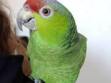 Tranen van geluk bij Jorieke nu papegaai Mimi weer thuis is: 'Zij is mijn alles'