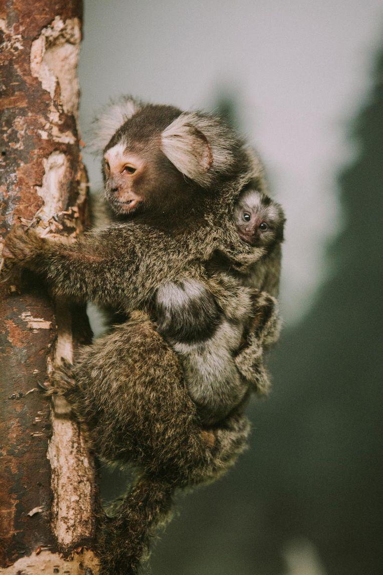 De twee aapjes klampen zich vast aan moeder O-Livia.