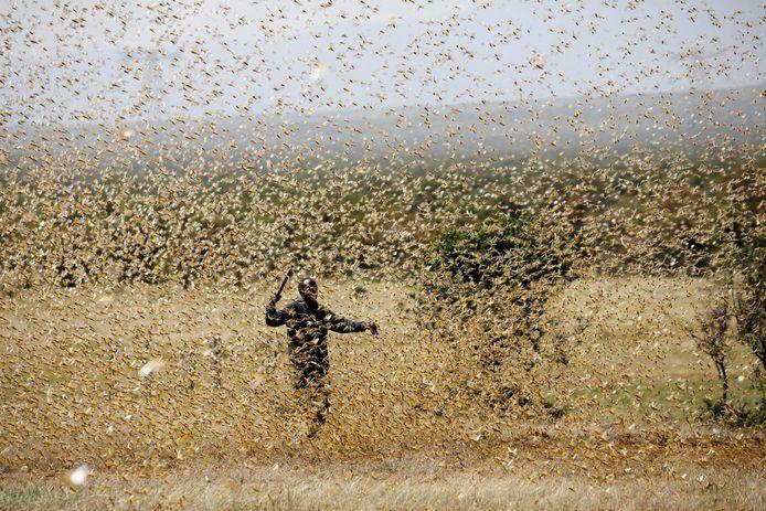 Een landbouwer probeert de sprinkhanen te verjagen bij Nanyuki, zo'n 195 kilometer ten noorden van de Keniaanse hoofdstad Nairobi.