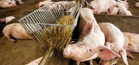 Kwart varkensboeren laat saneringsregeling liever schieten