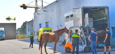 Man naar ziekenhuis na trap van paard in Bergeijk