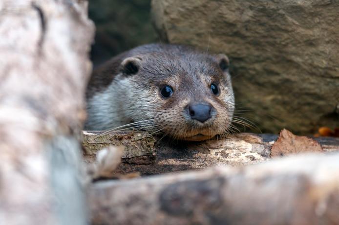 Het gaat goed met de otter in Nederland. Het aantal blijft toenemen