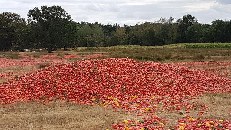 De vele tomaten en paprika's op het weiland op de Brechtse Heide.