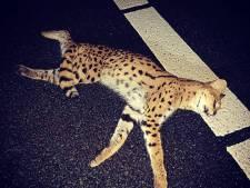 Politie vindt 'indrukwekkend dier' langs A2 en zoekt naar eigenaar in Duitsland