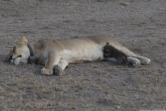 Het kleine luipaardje is waarschijnlijk even groot als de eigen welpen van de leeuwin.