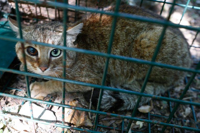 Deze katvos werd al langer gevolgd door ONCFS: het dier heeft wellicht in een gevecht oogschade opgelopen.