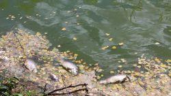 Veel meer dode vissen en eenden door de hitte, in Wallonië worden zelfs vissen geëvacueerd om ze te redden
