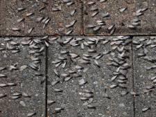 Vliegende mieren duiken massaal op, maar geen zorgen: het is maar tijdelijk