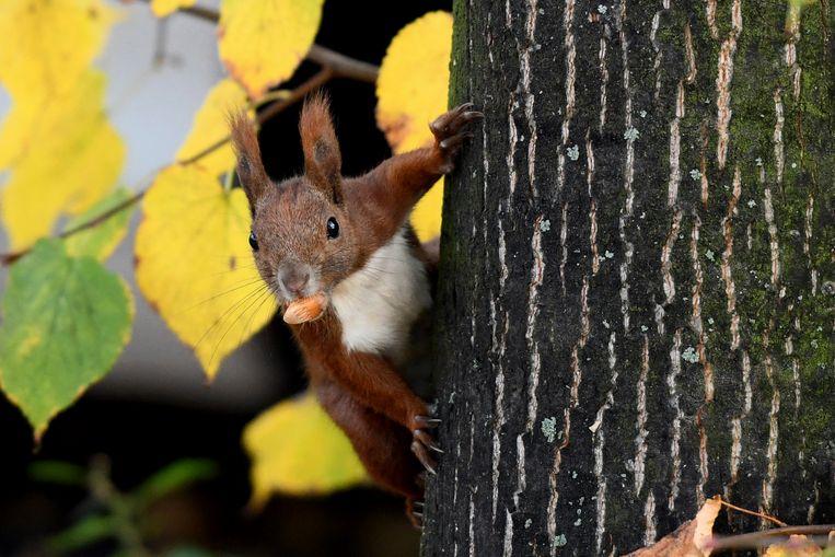 Een eekhoorn (foto ter illustratie) Beeld AP