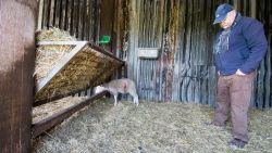 """Lammetje overleeft wolvenaanval in Peer, vier andere doodgebeten: """"Ik stop met mijn passie"""""""