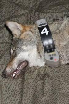 Duitse wolf Naya bracht de kerst door in Ruurlo