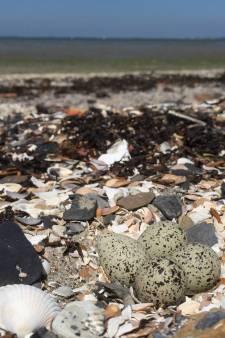 Vermoedelijke nestslopers krijgen niet hun zin: zeewier op strandje Kattendijke wordt voorlopig niet opgeruimd