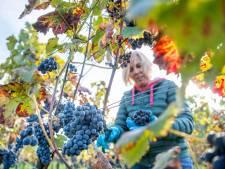 Vroeg druivenplukken op Horssense Heerlijkheid dit jaar