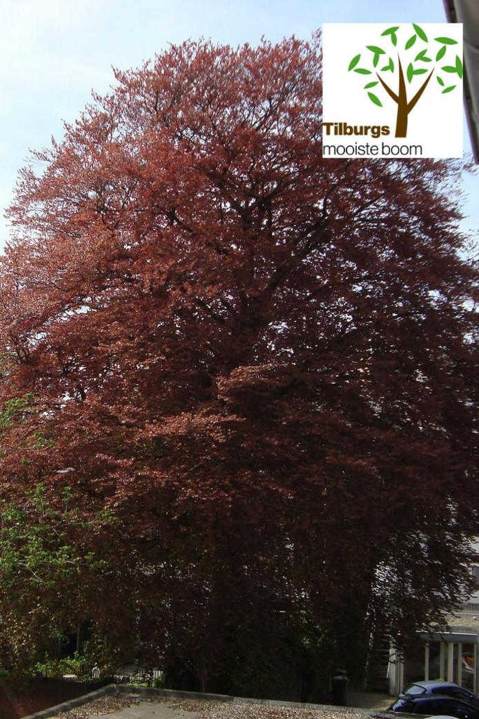 'Tilburgs mooiste boom' - die natuurlijk ook in Udenhout of Berkel-Enschot kan staan - zal in september via een publieke stemming worden uitverkoren.
