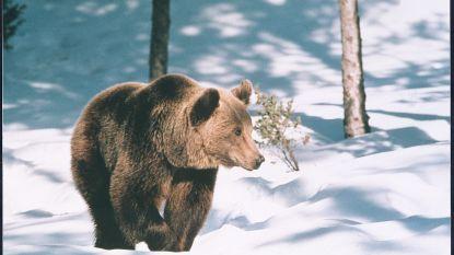 Zeldzame jonge bruine beer sterft 'per ongeluk' tijdens onderzoek dierentuin