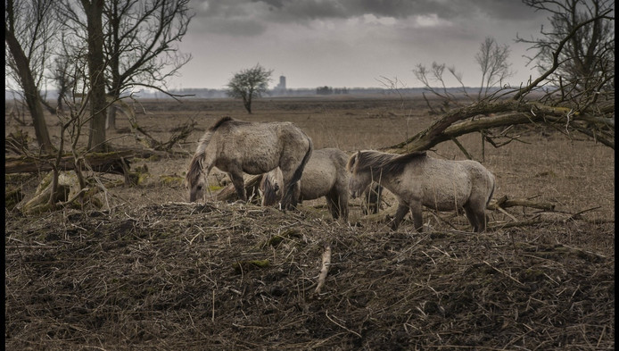 Paarden knabbelen in de Oostvaardersplassen aan afgestorven bomen met op de achtergrond de contouren van Almere.