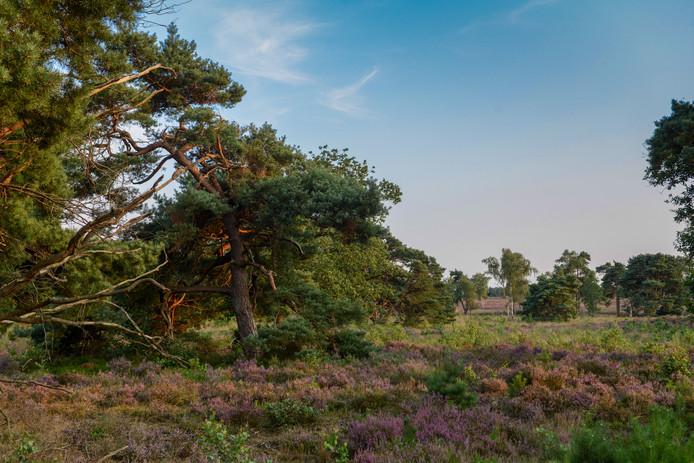 Het Zuiderbos in Nunspeet. Met behulp van een lokale Bosbrigade wil Stichting Landschapsbeheer Gelderland de historie van het gebied blootleggen.