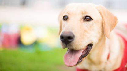 Extreme dierenmishandeling in Diksmuide: labrador verdronken in IJzer met zak stenen rond achterpoten