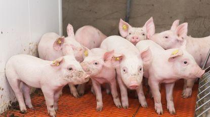 De Block voor het blok gezet: kiest ze voor mensen of varkens?