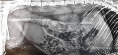 Dierenbeul schiet kat door poot en buik in Groesbeek