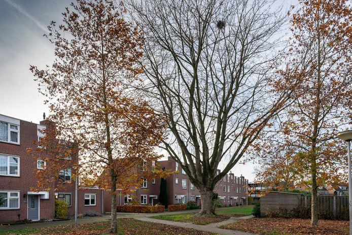 Een 'omstreden' boom in het Finlandplantsoen in Drunen. De een wil 'm weg vanwege de overlast, de ander wil 'm laten staan vanwege de schaduw in de zomer. Heusden heeft een kapvergunning afgegeven voor deze suikeresdoorn.