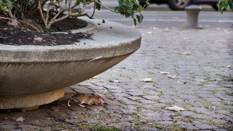 Een rat in Amsterdam Beeld Marjolijne Perquin